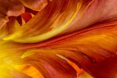 Tulpenlava