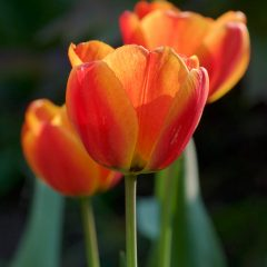 Tulpen (Foto: Ingrid Bornhofen)