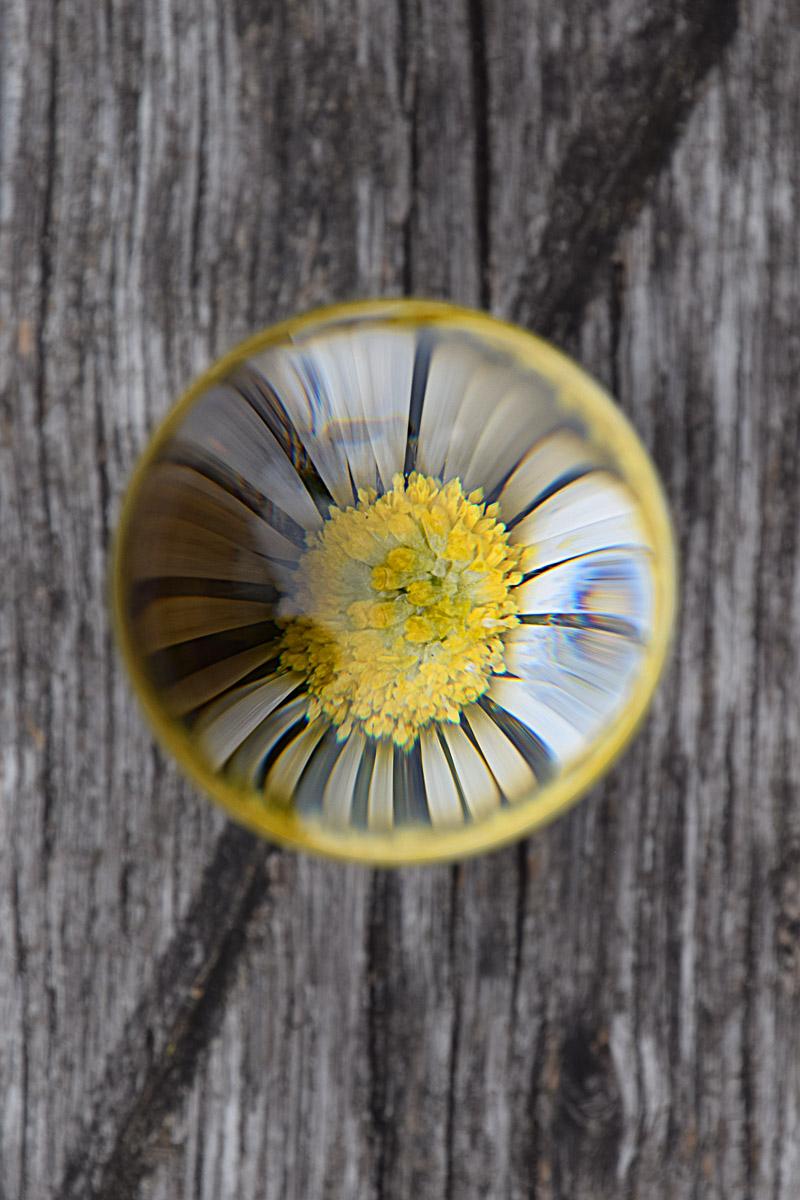 Kugelrund Gänseblümchen (Foto: Peter Stollenmayer)